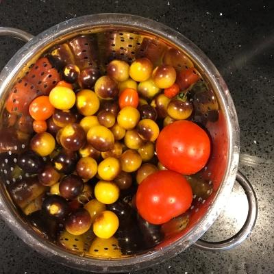 Garden tomato haul