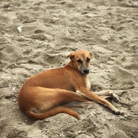 Street dog in Kochi