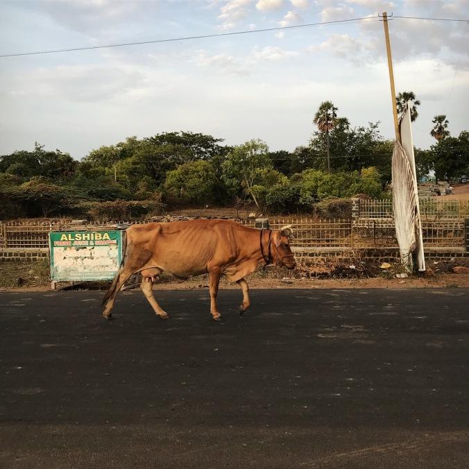 Street cow in Mahabalipuram