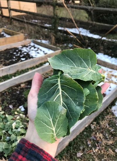 Collard leaves from the garden