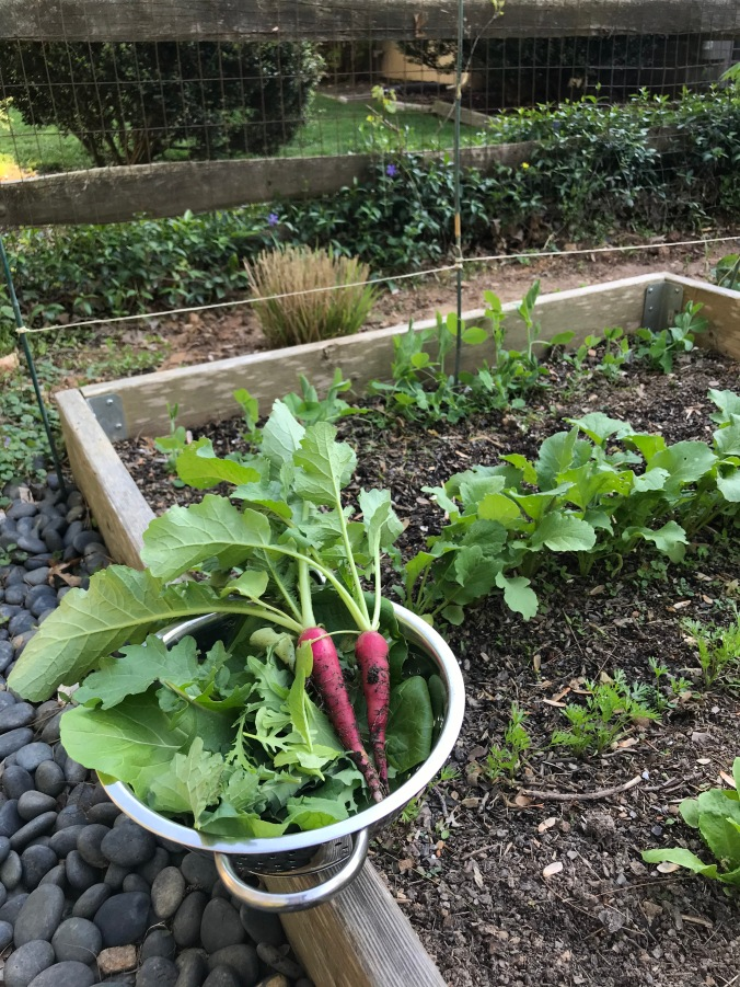The end of a raised garden bed, with a few green plants poking up. On the side of the wooden bed is a stainless steel colander; inside are freshly picked lettuce leaves and two bright pink radishes.